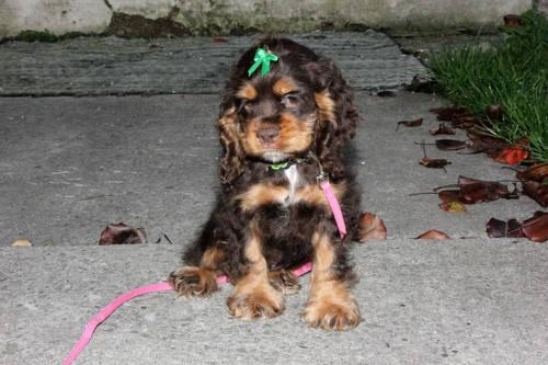 Cocker Spaniel For Sale In Ohio Classifieds Buy And Sell In Ohio