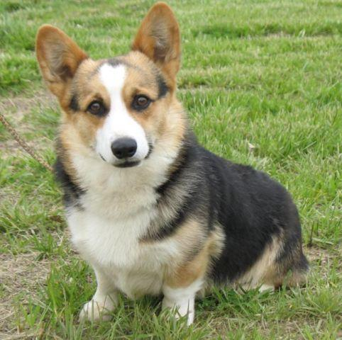 Corgi Puppies Pets And Animals For Sale In Indiana Puppy And