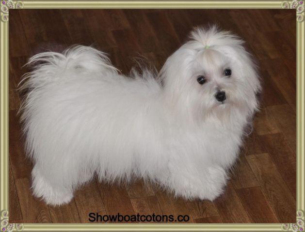 akc coton de tulear puppies available for sale in zebulon georgia