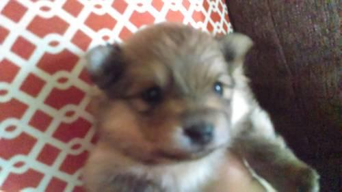AKC Cream Sable Pomeranian puppy Female