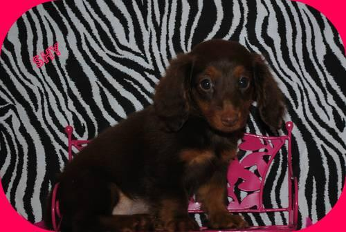AKC dachshund puppies