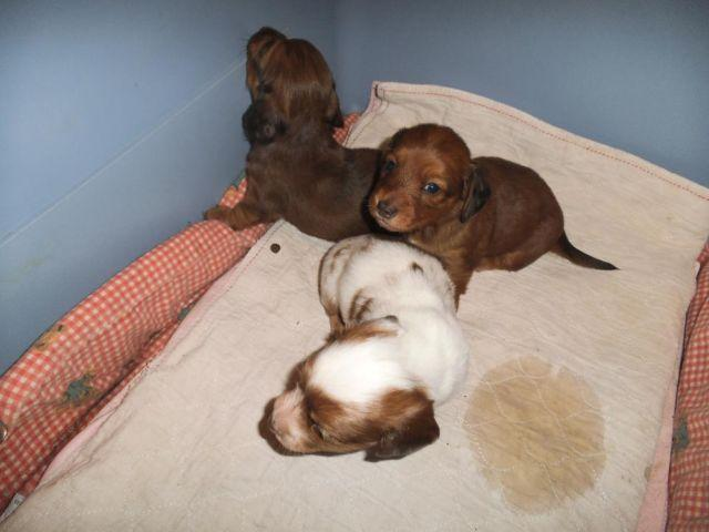 Dachshund Puppy For Sale In Oregon Classifieds Buy And Sell In