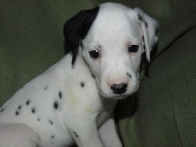 Dalmatian Puppies For Sale In California Classifieds Buy And Sell