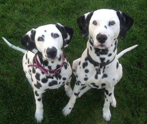 Dalmatian Puppies For Sale In Washington Classifieds Buy And Sell