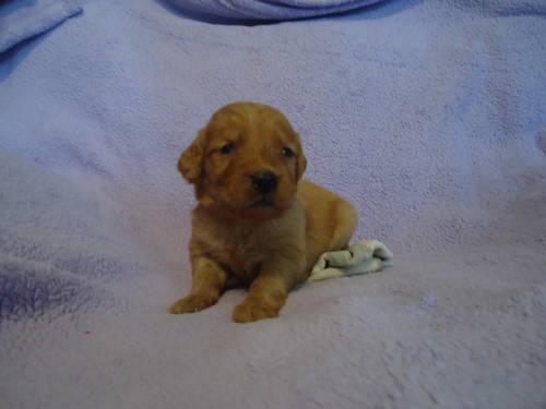 Akc Dark Golden Retriever Puppies For Sale In Canehill Arkansas