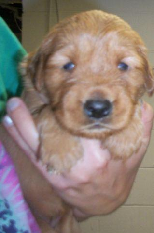 Akc Dark Red Golden Retriever Puppies For Sale In English Lake