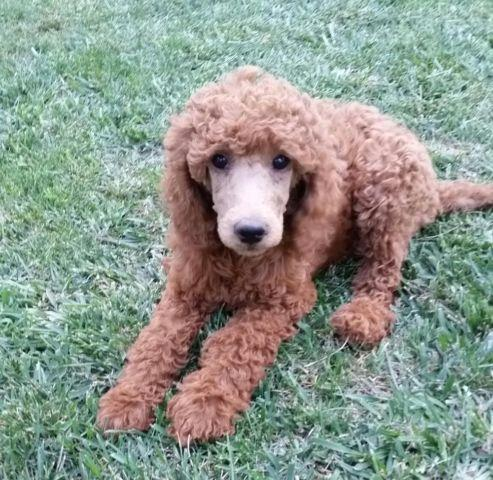 Akc Dark Red Standard Poodle Puppy For Sale In Pleasanton