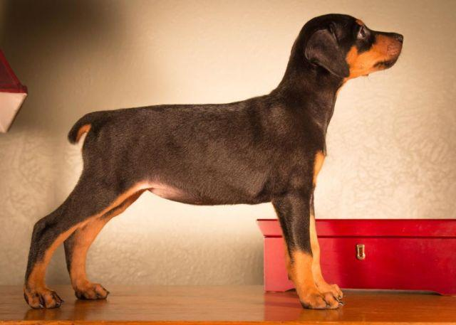 Akc Doberman Pinscher Puppies For Adoption For Sale In