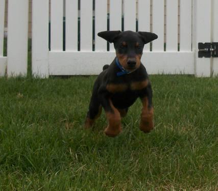 Akc Doberman puppies for Sale in Alamogordo, New Mexico ...