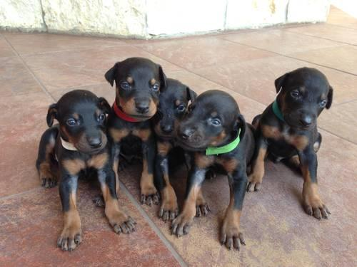 Akc Doberman Puppies For Sale In Beaumont Texas Classified