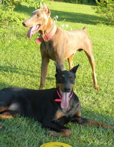 Akc Doberman Pups Will Be Ready For Christmas For Sale In Kingstree