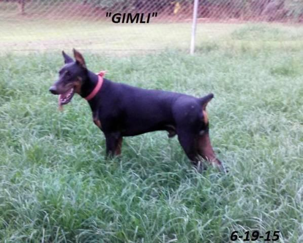AKC Doberman to PET home. vWD CLEAR AND NO Z FACTOR