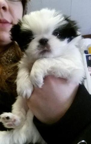 AKC doll face Japenese Chin puppies for sale 1 boy 2