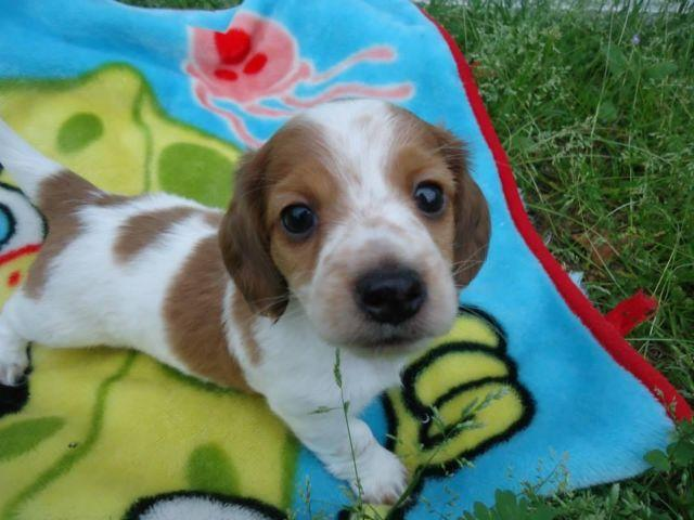 AKC ee red long haired piebald mini dachshund for Sale in Dowling Park ...