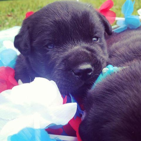 AKC English Black Lab Puppies for Sale in Stevens Point, Wisconsin