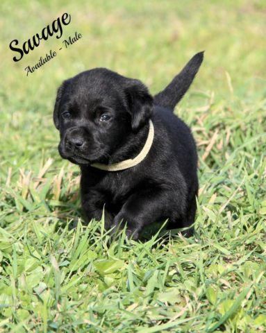 AKC English Black Lab Puppies Champion Hunting Bloodlines! for Sale in ...