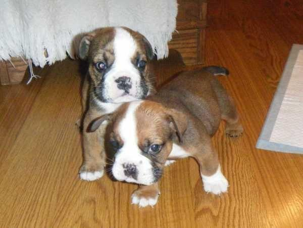 Akc English Boxer Puppy For Sale In Shreveport Louisiana