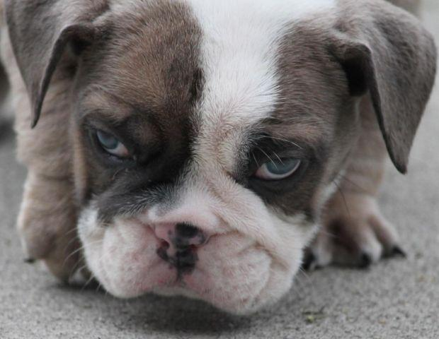 AKC English bulldog blue fawn with blue eyes for Sale in Graham