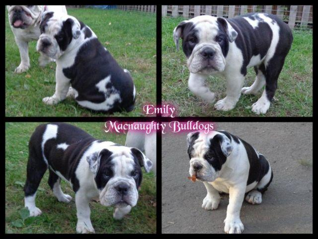 Akc English Bulldog Female Black And White For Sale In Brookings South Dakota Classified