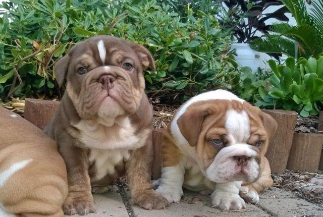 Akc English Bulldog Male Chocolate Puppies Green Eyes Wow For Sale In San Jose California