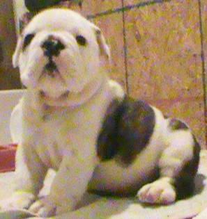AKC English Bulldog Puppies- For Sale