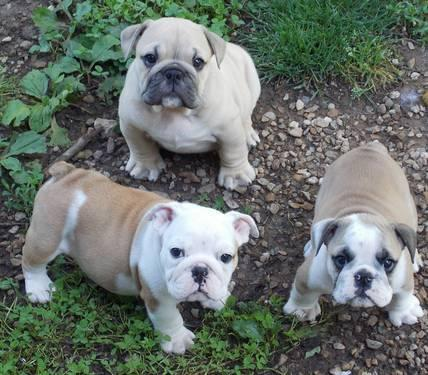 english bulldog tennessee akc english bulldog puppies for sale in emory gap 9784