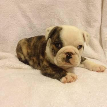 english bulldog puppies for sale without papers English bulldog without papers for sale  smoking bulldog english sale in public places debate occurs at many different professional and ethical essay or it's.