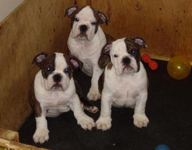 Akc English Bulldog Puppies For Sale In Medford Oregon Classified