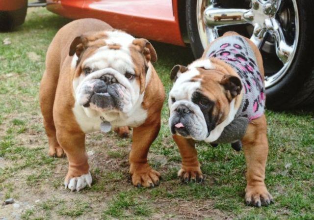 akc english bulldog puppies for sale in centreville, michiganakc english bulldog puppies