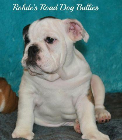 AKC English Bulldog Puppies - Champion Bloodlines- Last