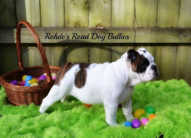 AKC English Bulldog Puppies - Price Reduced!