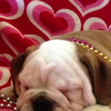 Akc English Bulldog Puppy For Sale In Montgomery Alabama Classified Americanlisted Com