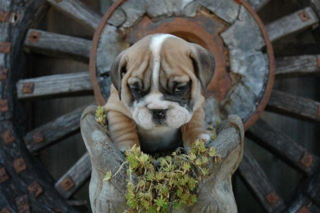 AKC ENGLISH BULLDOG PUPPY AVAILABLE- 9 WEEKS OLD