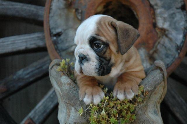 AKC ENGLISH BULLDOG PUPPY AVAILABLE-9 WEEKS OLD