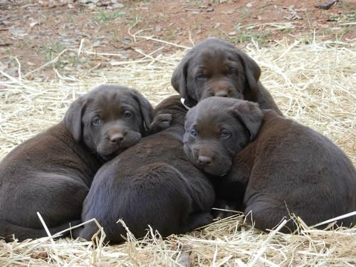 AKC **ENGLISH** Chocolate Labrador puppies *ONLY 1