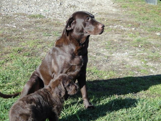 AKC English Chocolate Labrador Retriever for Sale in ...