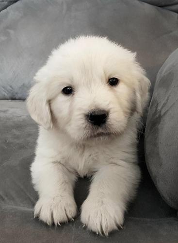 Akc English Cream Golden Retriever Puppies For Sale In Howard City