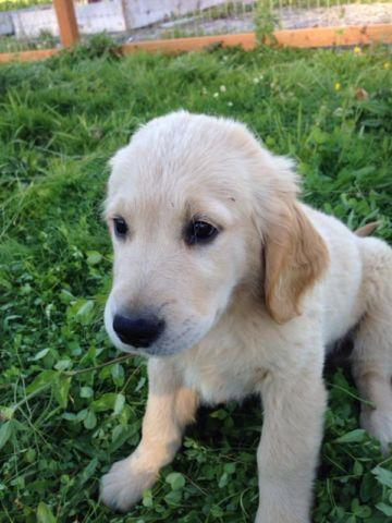 AKC English Cream Golden Retriever Puppies!