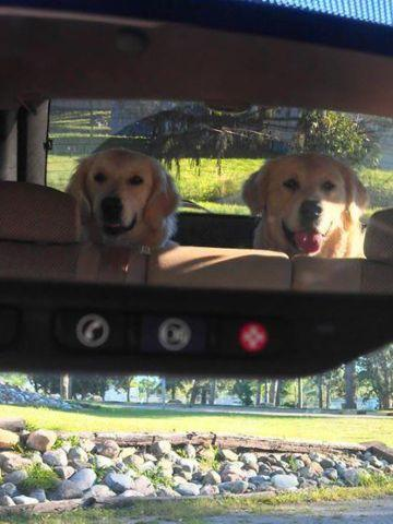 Akc English Cream Golden Retriever Puppies For Sale In Hillsdale