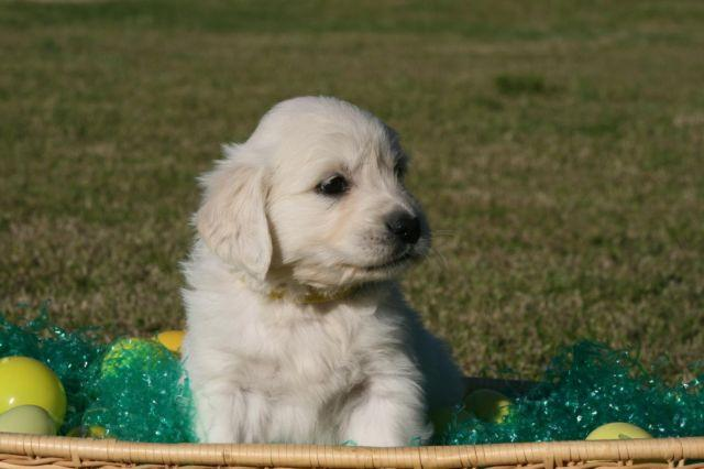 AKC English Cream Golden Retriever Puppies Ready Now!