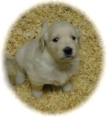 AKC English Cream Golden Retriever Pups - Willow/Rufus