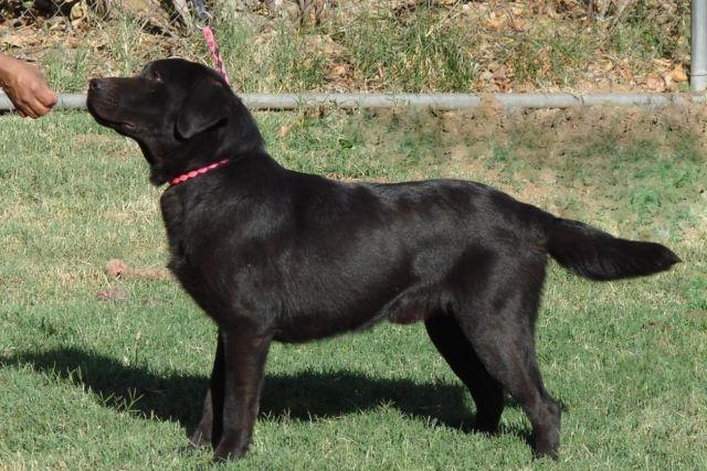 Akc English Labrador Black 2 Yr Old Male For Sale In