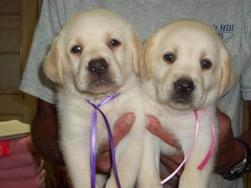 Akc English Lab Puppies | Dog Breeds Picture