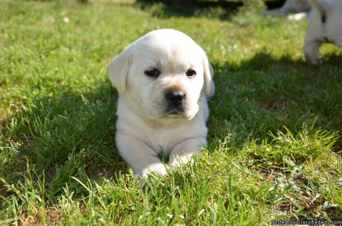 AKC Yellow english labrador retriever pups For Sale In Arkansas USA