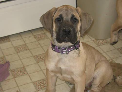 Akc English Mastiff Puppies 14 Weeks Old Ready To Go Home With You