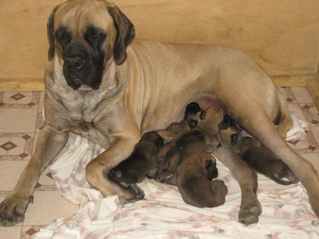 American Bandogge Mastiff Puppies For Sale In Ohio Classifieds Buy