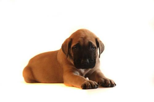 Akc english mastiff puppies for adoption mid july for sale in plant