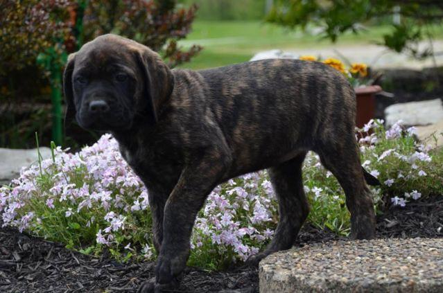 AKC English Mastiff Puppy