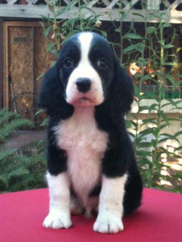 AKC English Springer Spaniel puppies PUPPY BREATH ALERT!