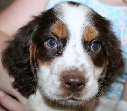 English springer spaniel colors related keywords english for English springer spaniel coloring pages
